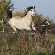 Gorgeous welsh cob stallion running in autumn - stock photo