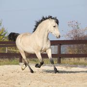 Gorgeous welsh cob stallion running in autumn - stock photo