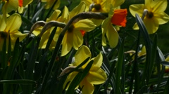 Daffodils backlit by sun, 4K, UHD Stock Footage