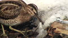 Adult Common snipe is feeding (Gallinago gallinago), close-up Stock Footage