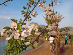 Cherry Blossoms At The Tidal Basin Stock Photos