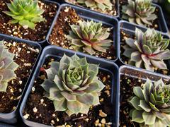 Stock Photo of Succulent Hens And Chicks Cactus