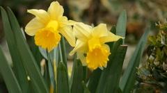 Yellow Flowers - Daffodills - Wildlife Stock Footage