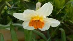 Yellowish Flower With Orange In The Middle Stock Footage