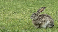 Huge Jack Rabbit Runs Away close up Stock Footage