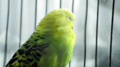 Budgerigar or budgie parakeet bird - stock footage