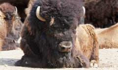 Close-up of Bison Stock Photos