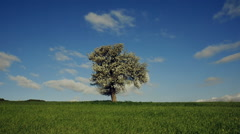 Spring landscape tree on grassy meadow sunny sky and clouds Stock Footage