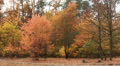 Bright autumn with orange leaves in  wood. Landscape PAL Footage