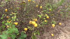 Quince (Chaenomeles) plants with yellow ripe fruit grow in farm Stock Footage