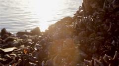 Algarve - Tavira - Mussels on Rocks Background A Stock Footage