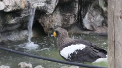 Steller's Sea Eagle at zoo 3 Stock Footage