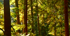 4K Rain Forest Trees and Sunlight, Pacific Northest Coast Stock Footage