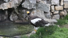 Steller's Sea Eagle at zoo 2 Stock Footage