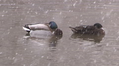 Ducks and squirrels caught in spring snow storm after cold winter Stock Footage