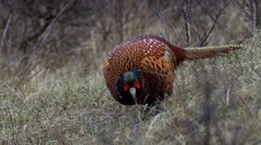 common pheasant - Phasianus colchicus - stock footage