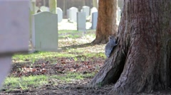 Stock Video Footage of Grey Squirrel on Tree Trunk in Churchyard - Squirrels Playing / Climbing