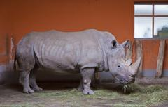 Rhino chews grass in a Zoo aviary - stock photo