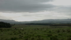 Cows in Scottish rural landscape, with fields and forest Stock Footage