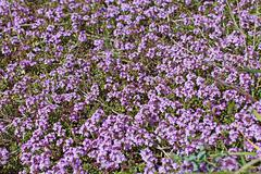 Flourishing thyme herb with pink flowers - stock photo