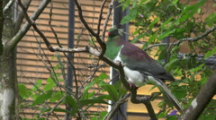 Kereru - New Zealand Wood Pigeon Stock Footage