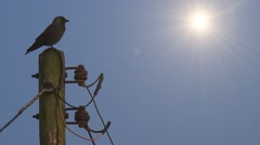 Jackdoor Bird perched on Electricity Pylon Stock Footage