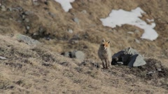 Wild fox is facing the camera Stock Footage