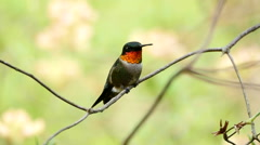 Male Ruby-throated hummingbird perched on tree limb grooms himself. - stock footage