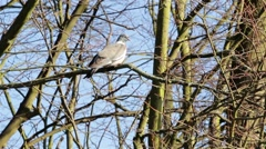 Pigeon Bird Sitting on Branch of Tree Swaying in a Gentle Breeze - Rural Setting Stock Footage