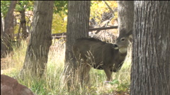 Mature Mule Deer Buck Courts Doe in Open Woods Stock Footage