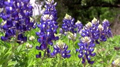 Texas Bluebonnet wild flowers - stock footage