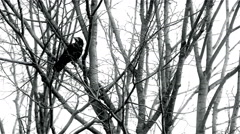 Crow on a Tree, Black and White, Branches, Winter, Wings Stock Footage