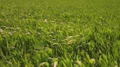 Blades of green grass blow, move in the strong wind Stock Footage