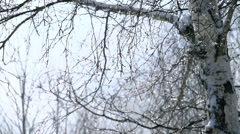Snow melts and falls from the branches of birch in slow motion Stock Footage