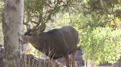 Dominant Mature Mule Deer Buck Approaching. Stock Footage