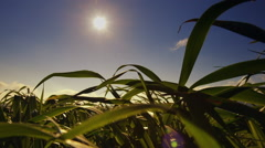 Blades of green grass against the sun,blow, move in the strong wind Stock Footage