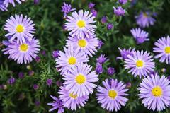 European michaelmas daisy (Aster amellus) Stock Photos