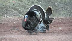 Turkeys Strut & Call on Gravel Road w Audio Stock Footage