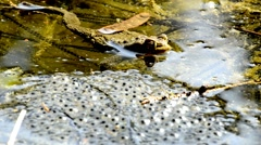 Frog with spawn Stock Footage