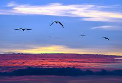 Sunset Sky Birds Aerial Flying and Soaring Above the Clouds Stock Photos