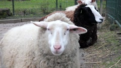 Sheeps in a farm Stock Footage