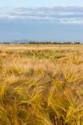 Wheat growing in green farm field Stock Photos