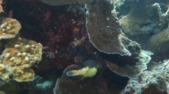 Puffer Fish at cleaning station. Stock Footage