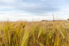 Young wheat growing in green farm field - stock photo