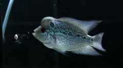 Stock Video Footage of Cichlids flowerhorn crossbreed are eating food