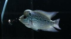 Cichlids flowerhorn crossbreed are eating food - stock footage