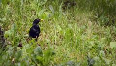 Blackbird jumps in the grass and fly away Stock Footage