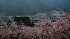 Apricot flowers Stock Footage