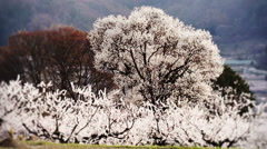 Cherry full bloom - stock footage