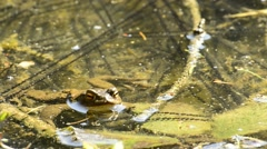 Frog in a lake Stock Footage